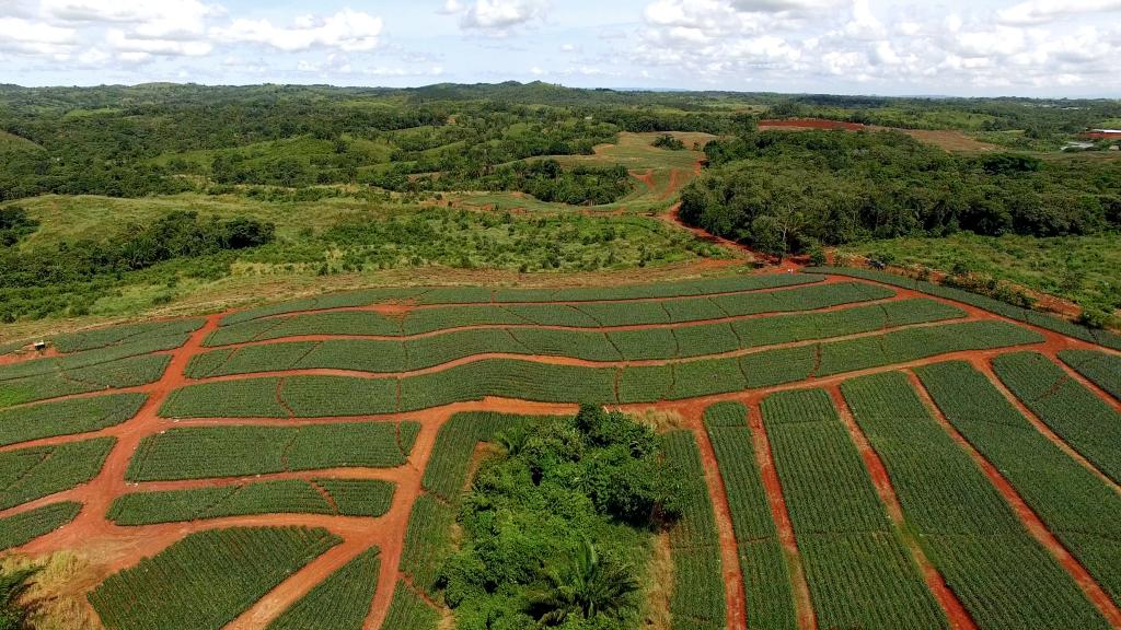 Panama Pineapple Farm Investment